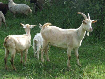 Ovce a kozy se vrací na jižní svah