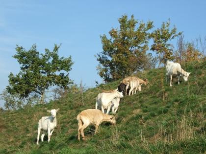 Kozy se vrací na jižní svah